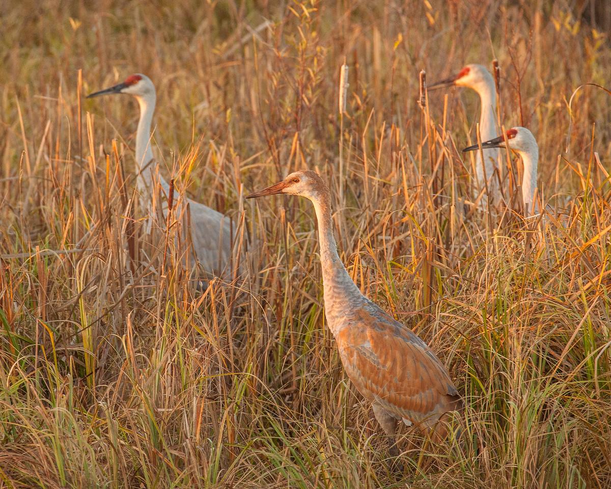 "SANDHILL CRANES 0305<br /> <br /> ""Young Sandhill at Sunrise""<br /> <br /> Crex Meadows Wildlife Area, Wisconsin"