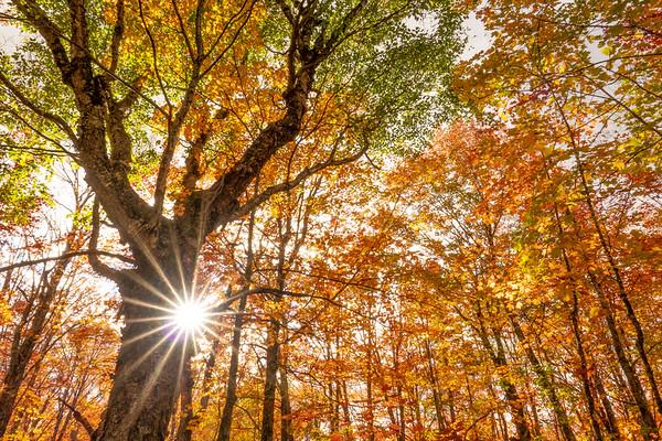 """Autumn Birch in the Maple Forest"""