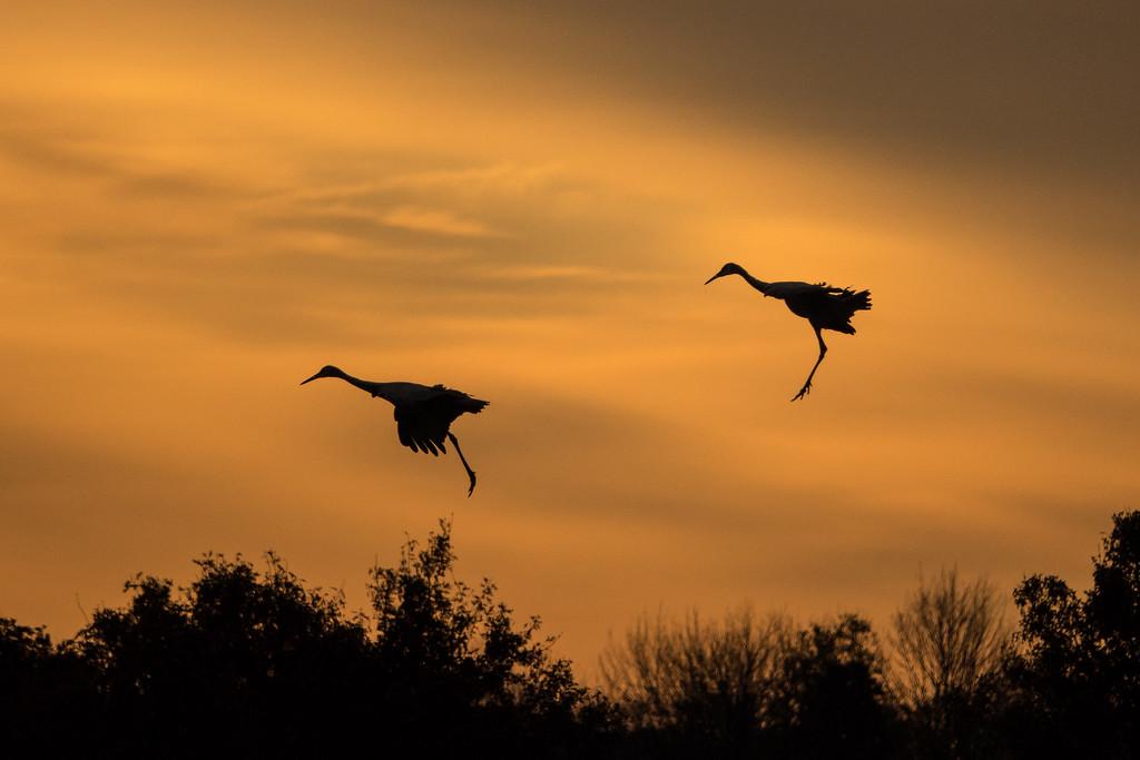 """SANDHILL CRANES 02660<br /> <br /> """"Landing Gear Down""""<br /> <br /> Crex Meadows Wildlife Area - Grantsburg, Wisconsin"""