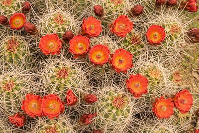 """CALIFORNIA 02500  """"Mojave Mound Cactus""""  Joshua Tree National Park"""