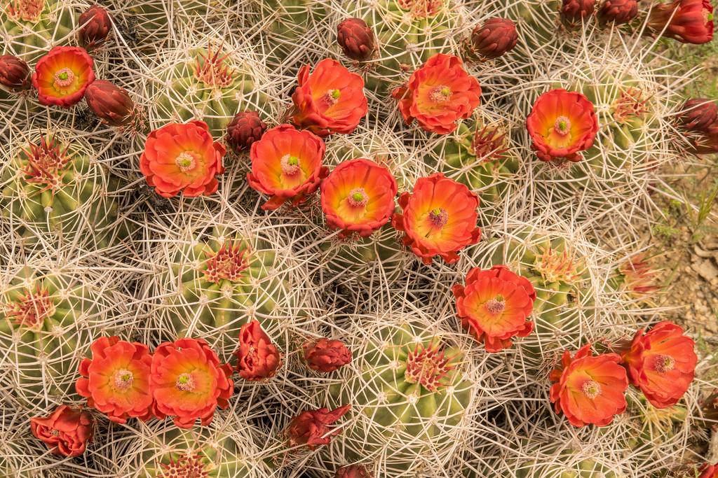 "CALIFORNIA 02500<br /> <br /> ""Mojave Mound Cactus""<br /> <br /> Joshua Tree National Park"