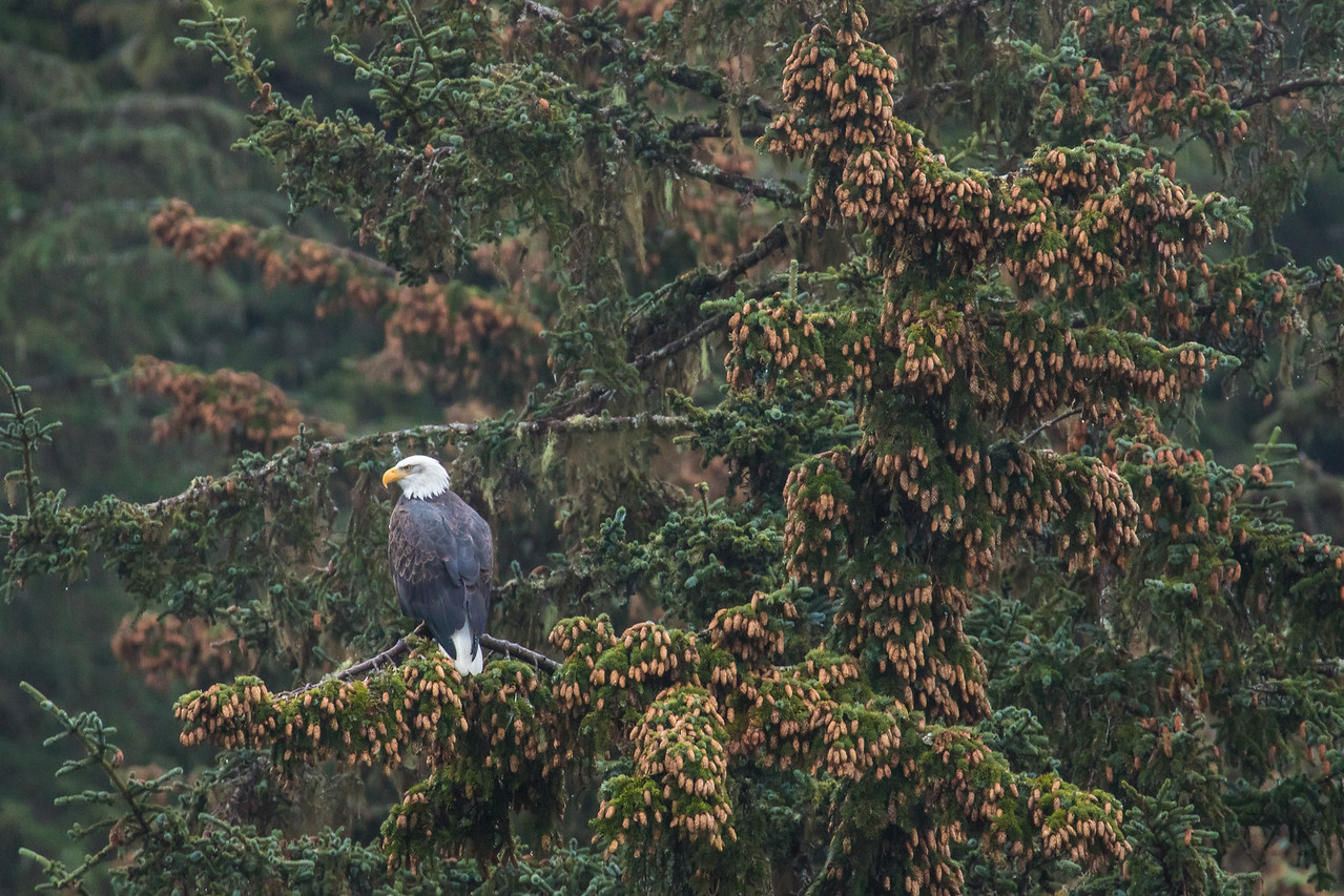 "ALASKA EAGLES 0235<br /> <br /> ""Chilkoot Eagle in Spruce Tree""<br /> <br /> Chilkoot River - Haines, AK"