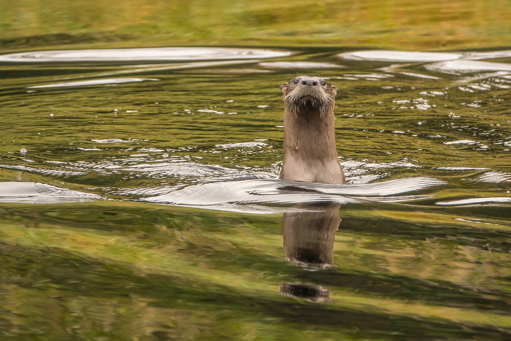 """OTTERS 01451<br /> <br /> """"Curious Otter, Swamp River""""<br /> <br /> Grand Portage State Forest, MN"""