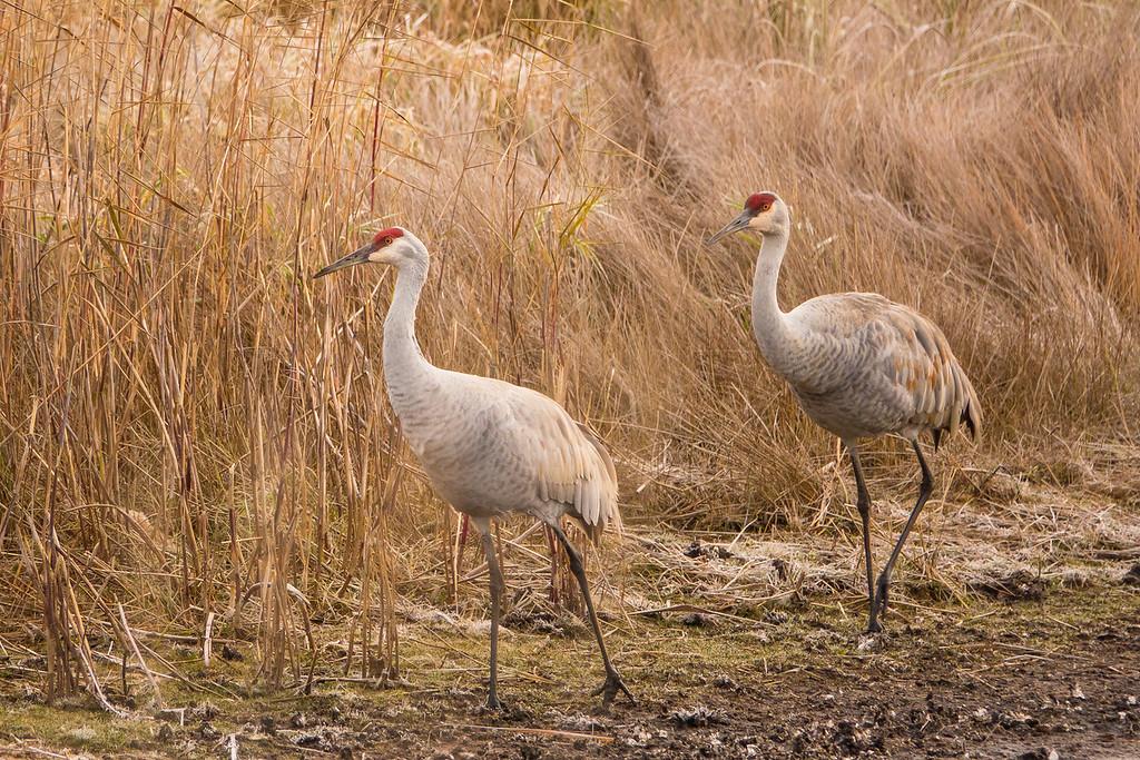 """SANDHILL CRANES 02675<br /> <br /> """"Crex Meadows Cranes""""<br /> <br /> Crex Meadows Wildlife Area - Grantsburg, Wisconsin"""