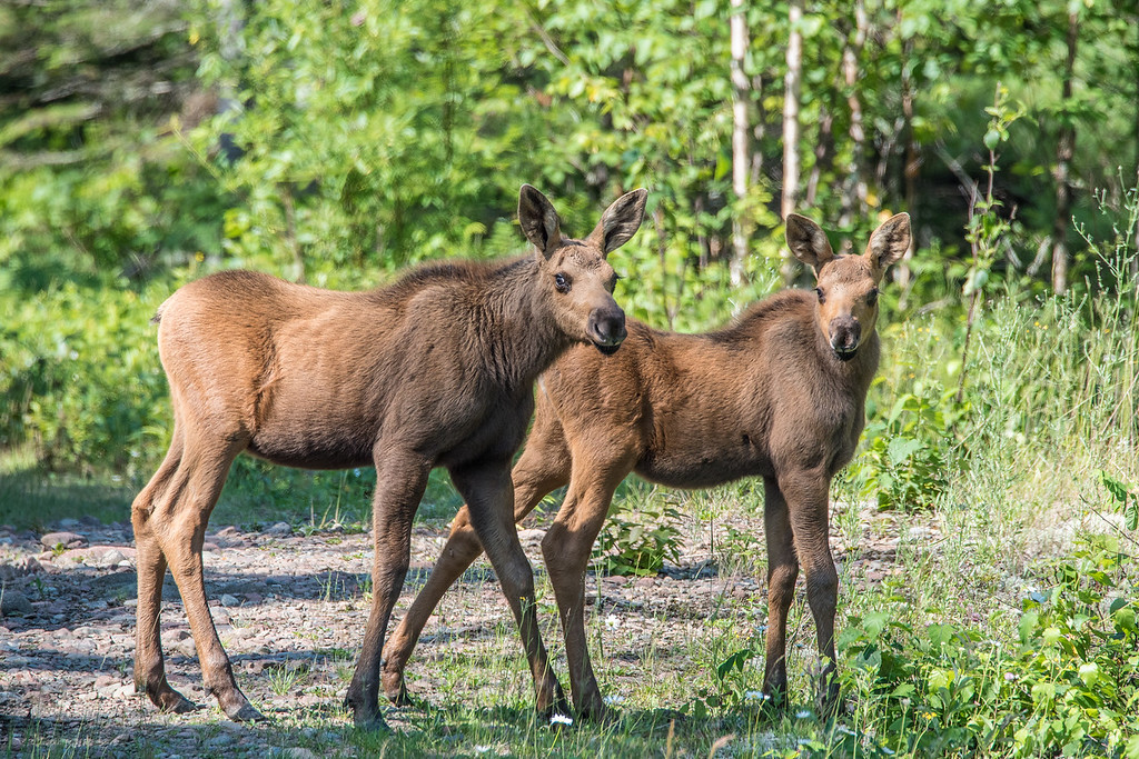 "MOOSE 7142<br /> <br /> ""Twin Moose Calves, Out for a Walk!"""