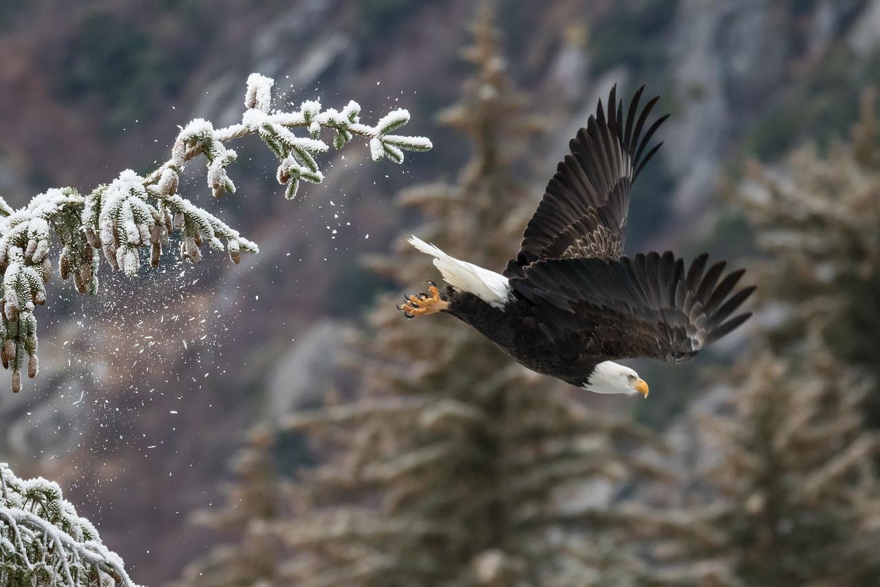 "ALASKA EAGLES 9584<br /> <br /> ""Chilkoot Lake Eagle 02""<br /> <br /> Haines, AK"