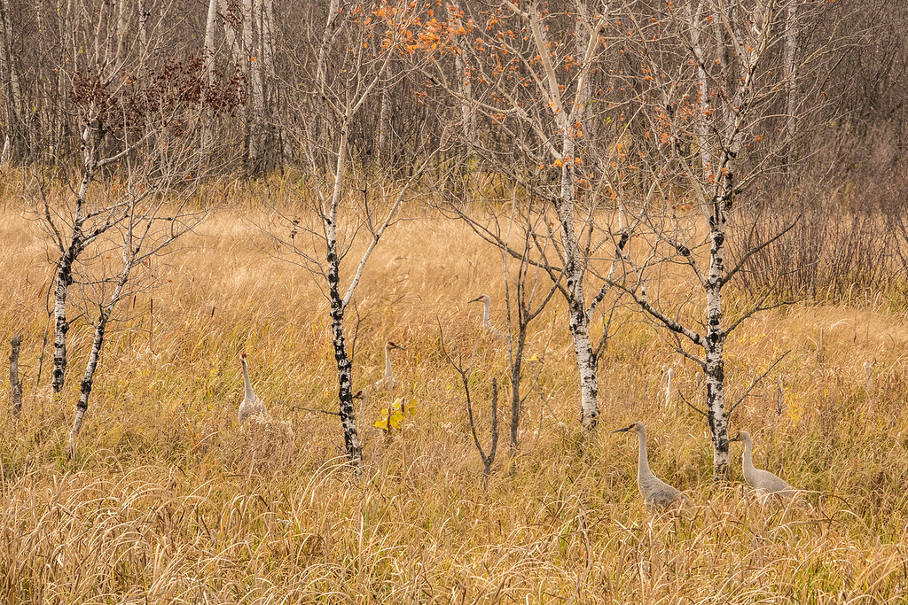 """SANDHILL CRANES 02865<br /> <br /> """"Hanging out in the tall grass""""<br /> <br /> Crex Meadows Wildlife Area - Grantsburg, Wisconsin"""