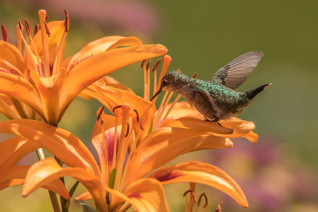 "HUMMINGBIRDS 8246<br /> <br /> ""Hummingbird in the Lily Garden""<br /> <br /> Grand Portage, MN"