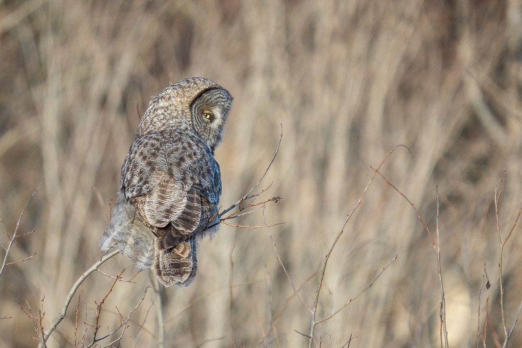 """OWL 02050<br /> <br /> """"Village Owl""""<br /> <br /> Great Gray Owl hanging out in the village of Grand Portage, MN - March 2017"""