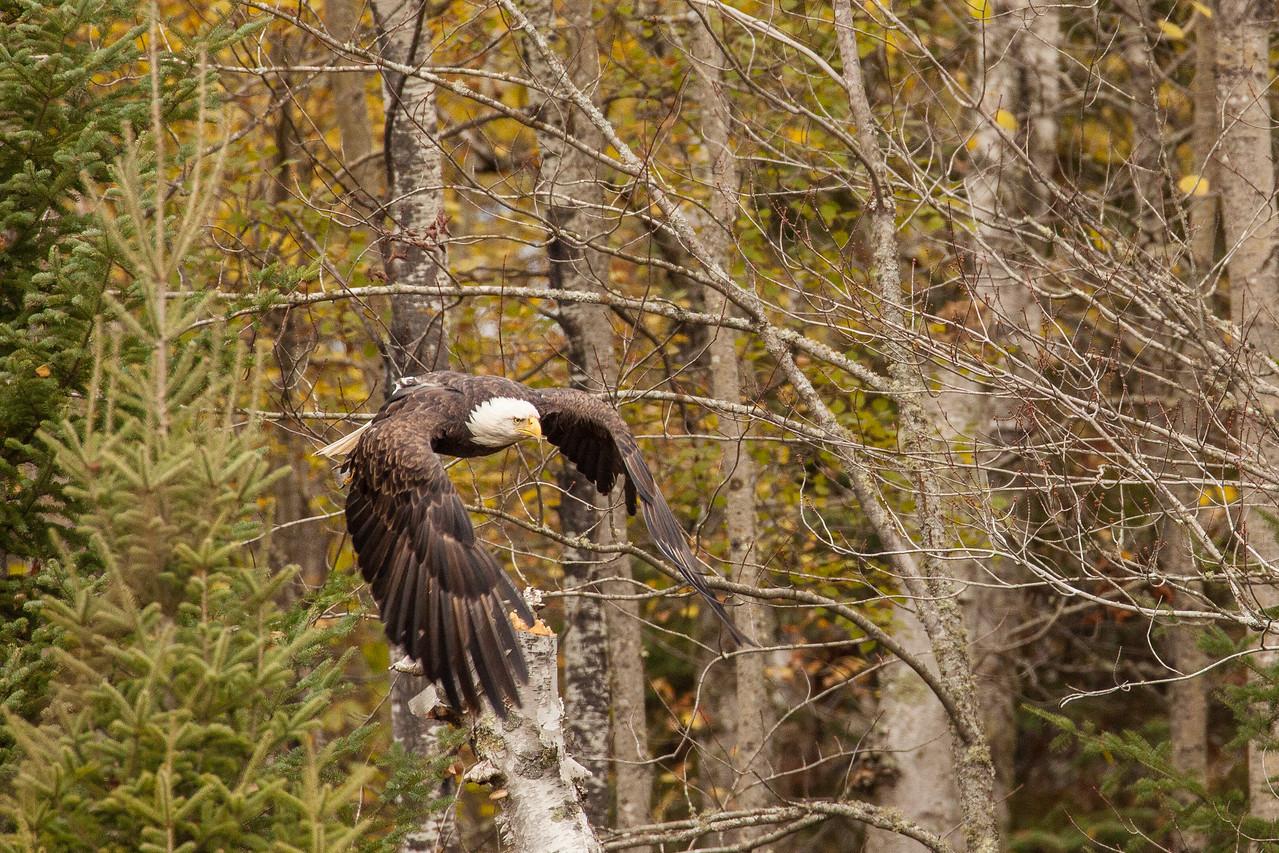 "BALD EAGLE 0185<br /> <br /> ""A chance encounter with a bald eagle 03"""