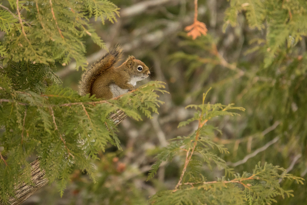 "ANIMALS BY LAND 01112<br /> <br /> ""Cedar Squirrel"""