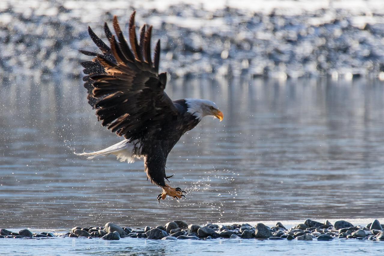 """ALASKA EAGLES 0103<br /> <br /> """"Bald Eagle Bath Time 04""""<br /> <br /> Chilkat River - Haines, AK"""