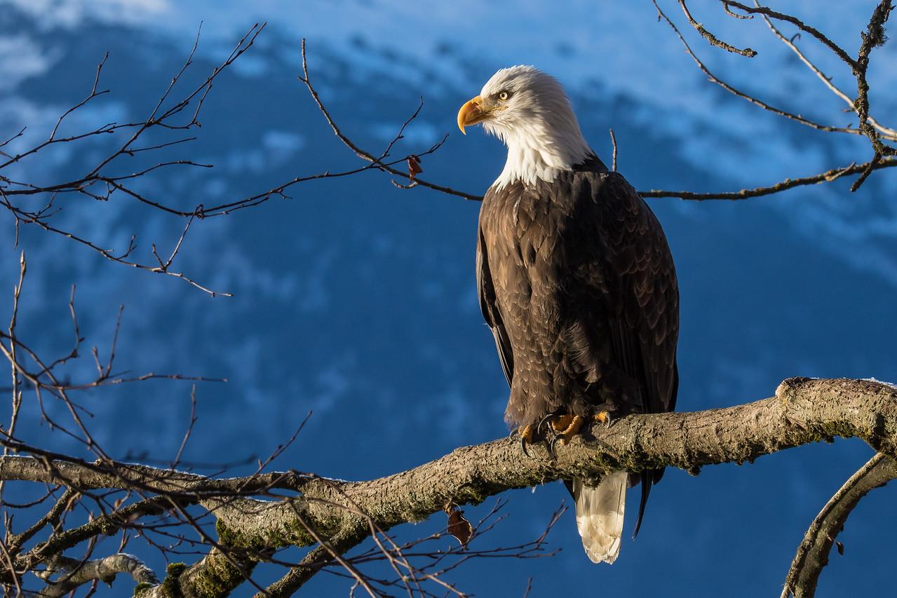 """ALASKA EAGLES 9782<br /> <br /> """"Perched Eagle""""<br /> <br /> Chilkat River - Haines, AK"""