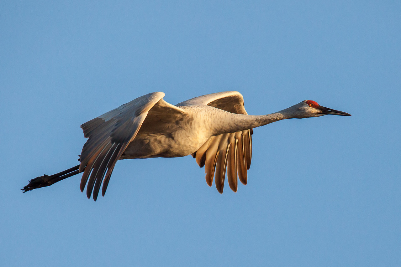 """SANDHILL CRANES 0389<br /> <br /> """"Morning Crane at Crex Meadows""""<br /> <br /> Crex Meadows Wildlife Area, Wisconsin"""