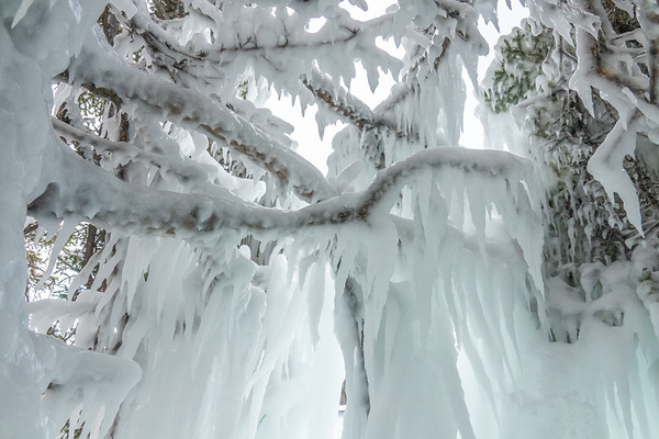 """""""Icy Spruce Tree"""""""