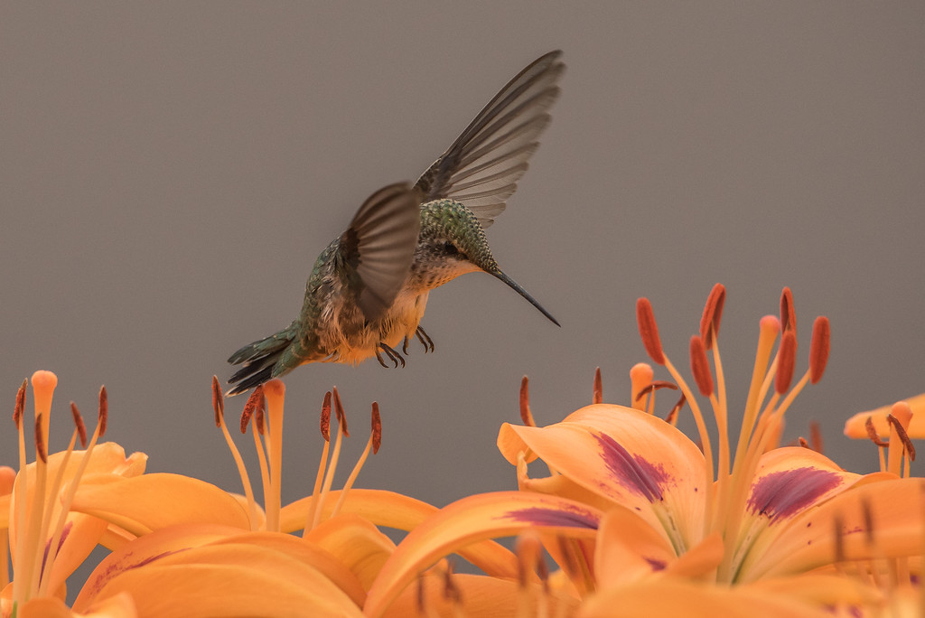 "HUMMINGBIRDS 7947<br /> <br /> ""Hummingbird in the Lily Garden""<br /> <br /> Grand Portage, MN"