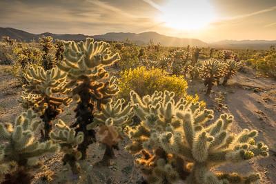 "CALIFORNIA 02763  ""Sunrise at the Cholla Garden""  Joshua Tree National Park"