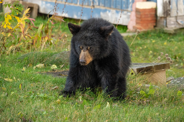 """Young Black Bear"""