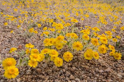 """CALIFORNIA 03098  """"Woolly Daisy""""  Joshua Tree National Park"""