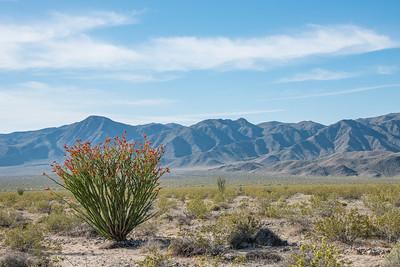 "CALIFORNIA 2640  ""Ocotillo and the Hexie Mountains""  Joshua Tree National Park"