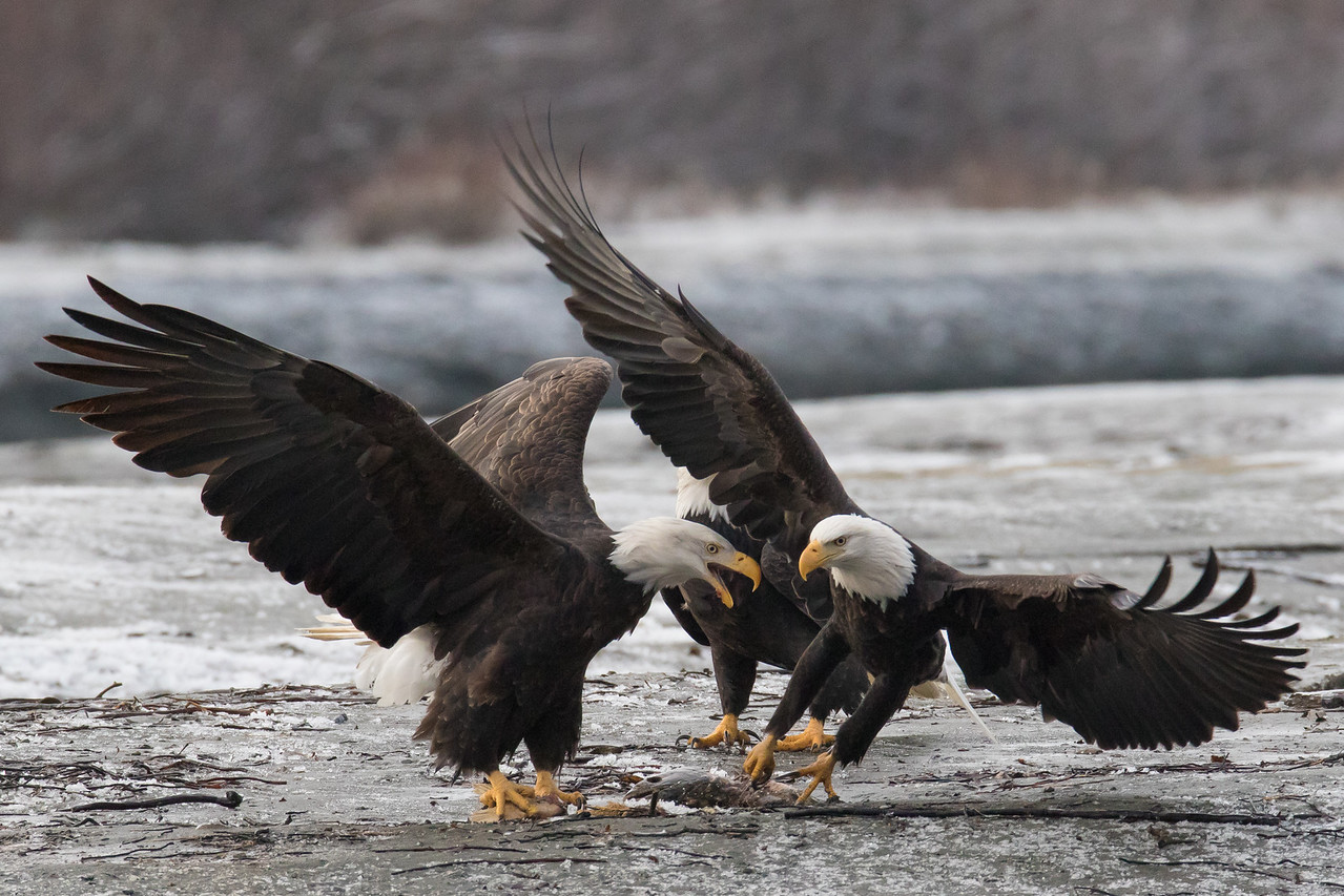 "ALASKA EAGLES 0482<br /> <br /> ""Attempted Robbery 03""<br /> <br /> Chilkat River - Haines, AK"