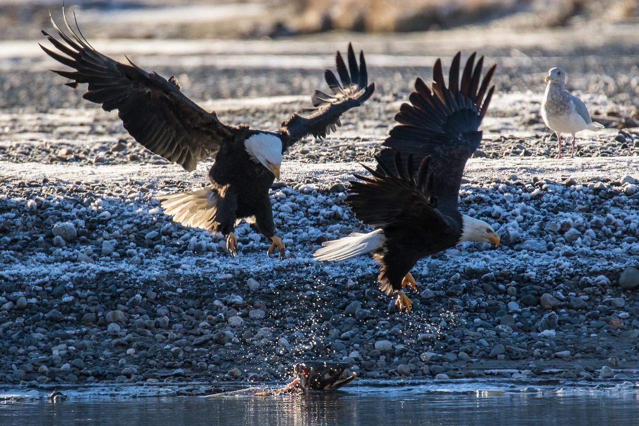 "ALASKA EAGLES 9297<br /> <br /> ""Fighting over Salmon""<br /> <br /> Chilkat River - Haines, AK"