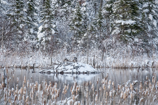 """Beaver Lodge and Canada Geese"""