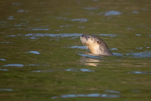 """Meditative Otter"""
