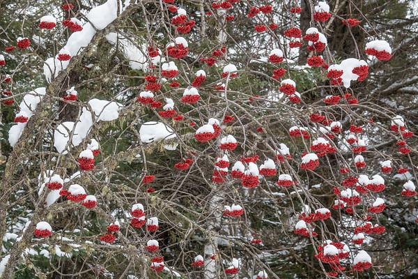 """Mountain Ash Berries"""