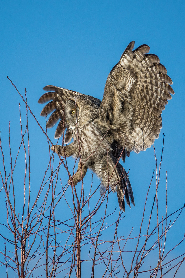 """OWL 01997<br /> <br /> """"Village Owl""""<br /> <br /> Great Gray Owl hanging out in the village of Grand Portage, MN - March 2017"""