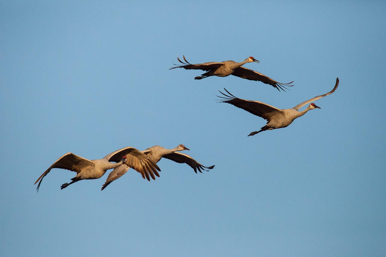 """SANDHILL CRANES 0385<br /> <br /> """"Morning Cranes at Crex Meadows""""<br /> <br /> Crex Meadows Wildlife Area, Wisconsin"""