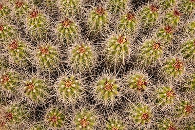 """CALIFORNIA 02556  """"Mojave Mound Cactus""""  Joshua Tree National Park"""