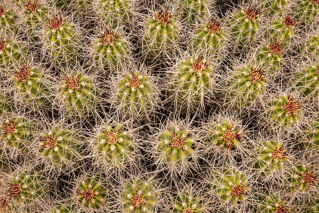 "CALIFORNIA 02556<br /> <br /> ""Mojave Mound Cactus""<br /> <br /> Joshua Tree National Park"