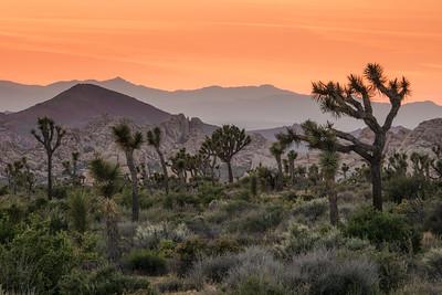 "CALIFORNIA 03060  ""Joshua Tree Sunset""  Joshua Tree National Park"