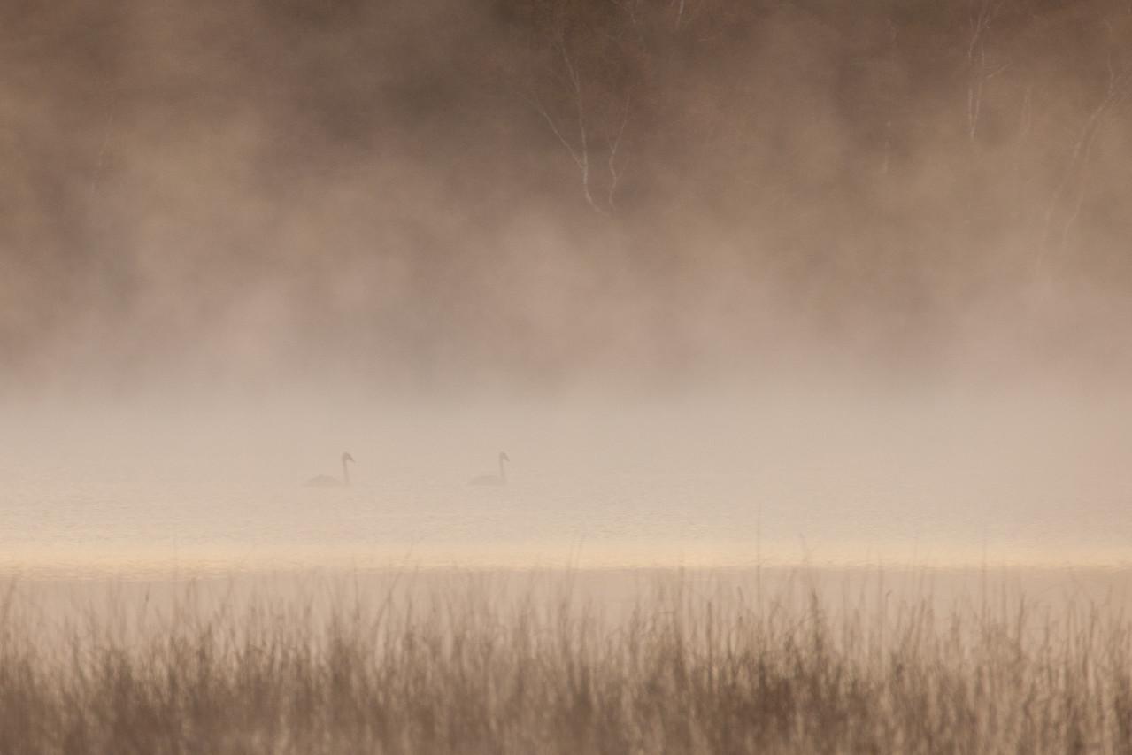 "SWANS 0048<br /> <br /> ""Swans in October Morning Fog - Lake Itasca""<br /> <br /> Itasca State Park, MN"