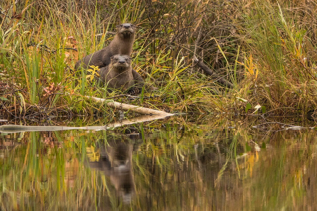 """OTTERS 01495<br /> <br /> """"Swamp River Otters""""<br /> <br /> Grand Portage State Forest, MN"""