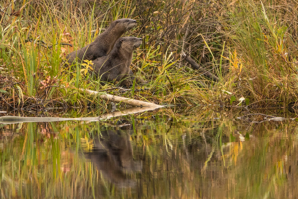 """OTTERS 01494<br /> <br /> """"Swamp River Otters""""<br /> <br /> Grand Portage State Forest, MN"""