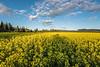 """ONTARIO 7277<br /> <br /> """"Ontario Canola Field""""<br /> <br /> Near the city of Thunder Bay, Ontario"""