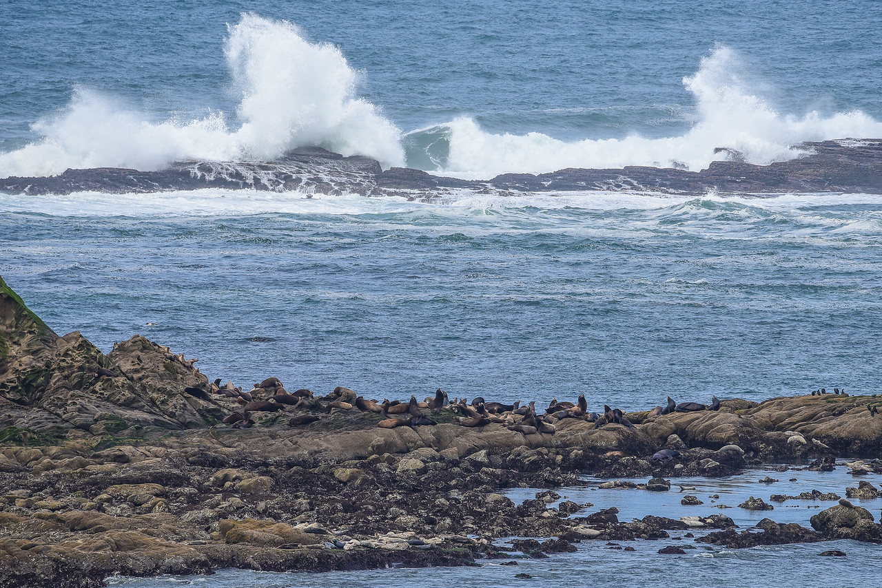 """OREGON 2820<br /> <br /> """"Seals and Surf at Shell Island and Simpson Reef""""<br /> <br /> Cape Arago State Park"""