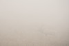 """CALIFORNIA 05400<br /> <br /> """"Tule Elk in Fog""""<br /> <br /> Point Reyes National Seashore"""