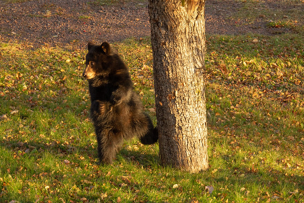 """Young bear in the crab apple tree"""