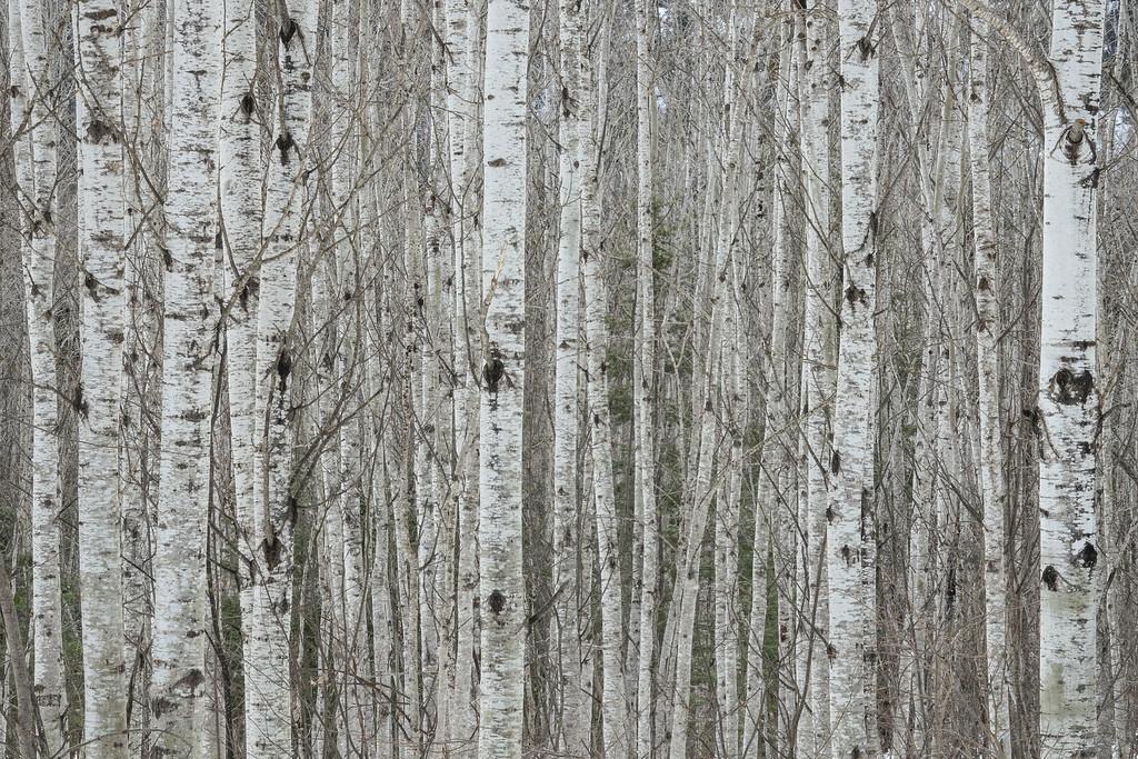 """""""Aspen Forest"""""""