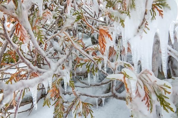 """Frozen Cedar"""