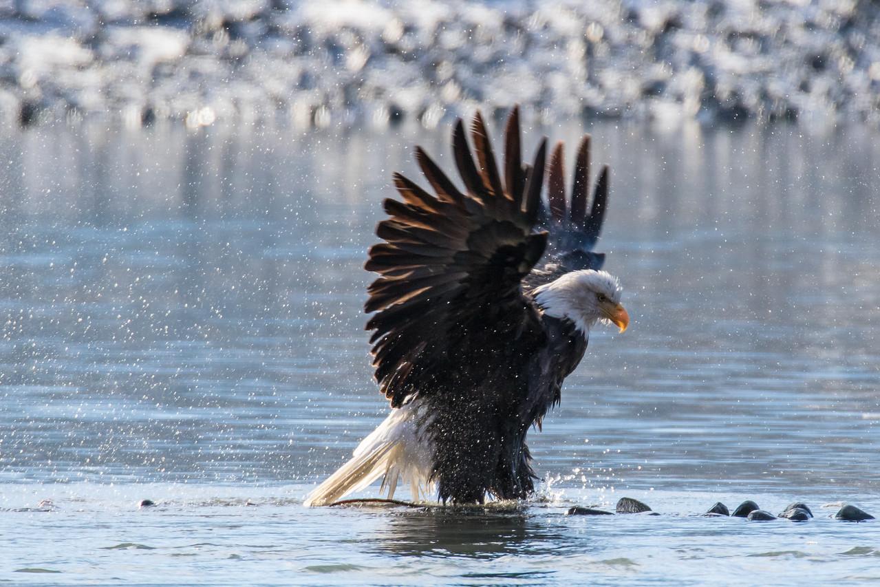 """ALASKA EAGLES 0085<br /> <br /> """"Bald Eagle Bath Time 02""""<br /> <br /> Chilkat River - Haines, AK"""
