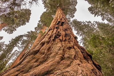 "CALIFORNIA 2414  ""Giant Sequoia""  Sequoia National Park"