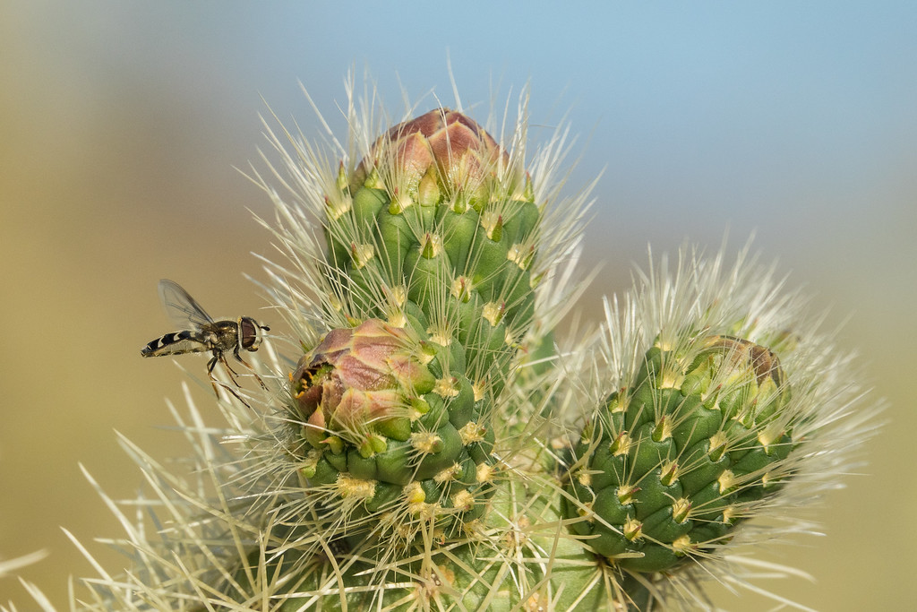 """CALIFORNIA 02817<br /> <br /> """"Bee Fly on Cholla Cactus""""<br /> <br /> Joshua Tree National Park"""