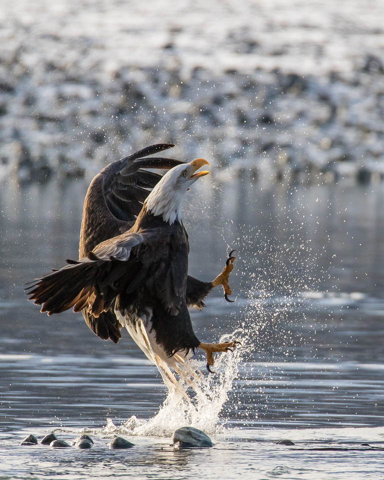 """ALASKA EAGLES 9871<br /> <br /> """"Jumping Eagle""""<br /> <br /> Chilkat River - Haines, AK"""