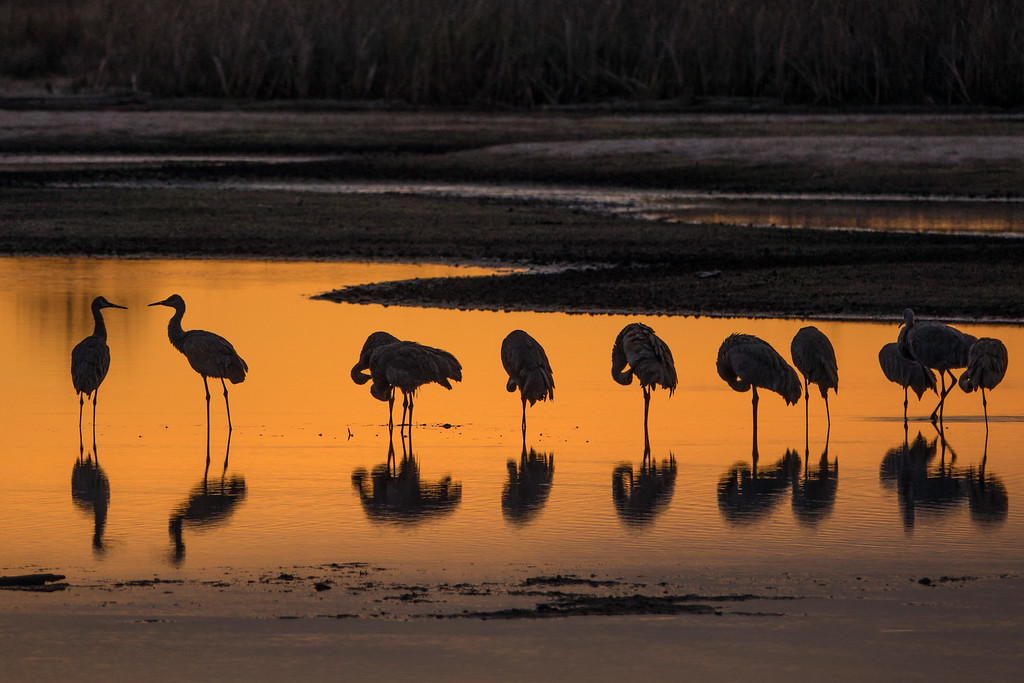 """SANDHILL CRANES 02642<br /> <br /> """"A Quiet Morning""""<br /> <br /> Crex Meadows Wildlife Area - Grantsburg, Wisconsin"""