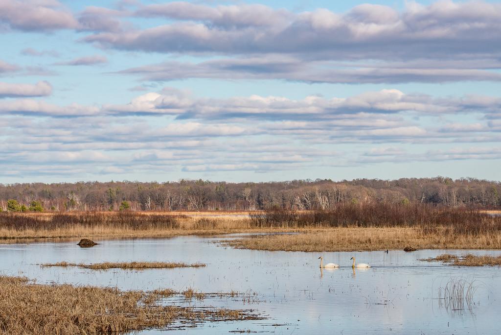 """SWANS 7234<br /> <br /> """"Spring Swans at Crex Meadows""""<br /> <br /> Crex Meadows Wildlife Area - Grantsburg, WI"""