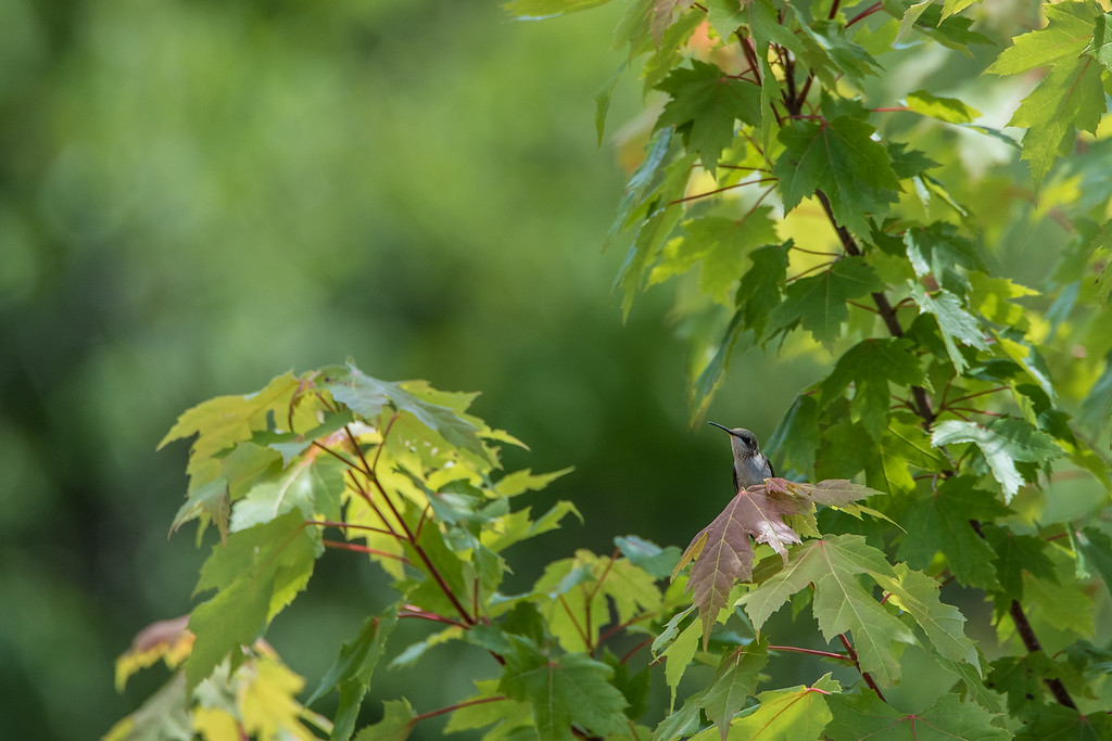 "HUMMINGBIRDS 8190<br /> <br /> ""Hummingbird in Maple Tree""<br /> <br /> Grand Portage, MN"
